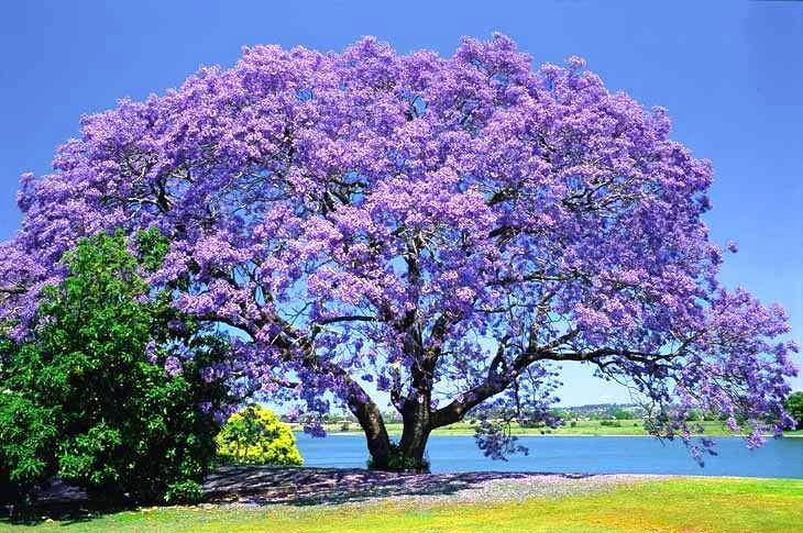 Beautiful Blue Jacaranda