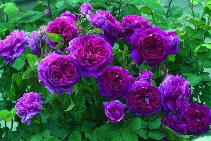 natural purple roses