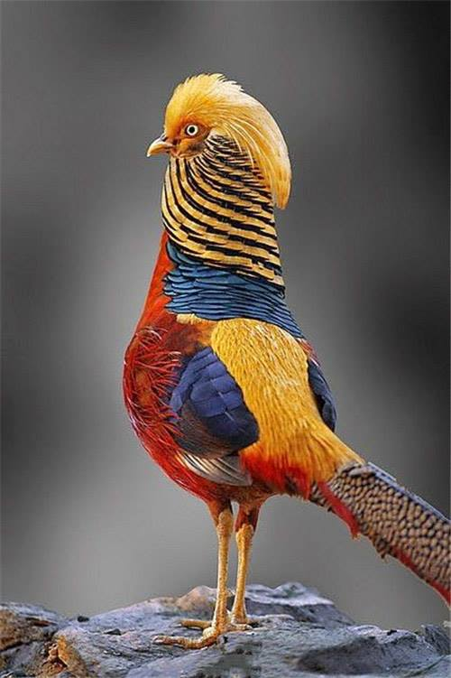 Colorful Pheasant Bird Images