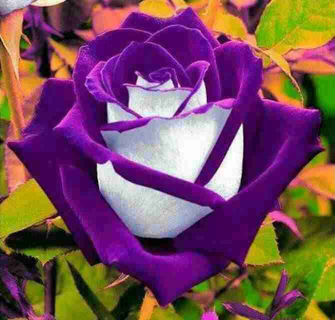 Rare Dual Color Roses
