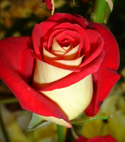 Rare dual color roses for Dual color roses