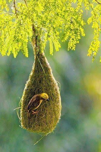 The Weaver Birds Constricting Home